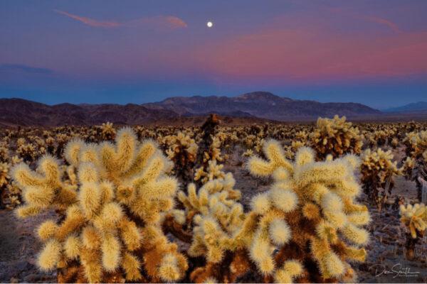 Moonrise Over Cholla Cactus Gardens-Don Smith